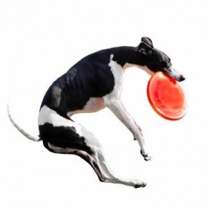 Dog catching Frisbee.