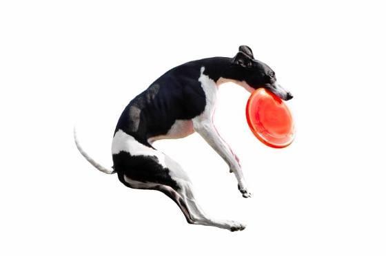 Dog catching Frisbee.