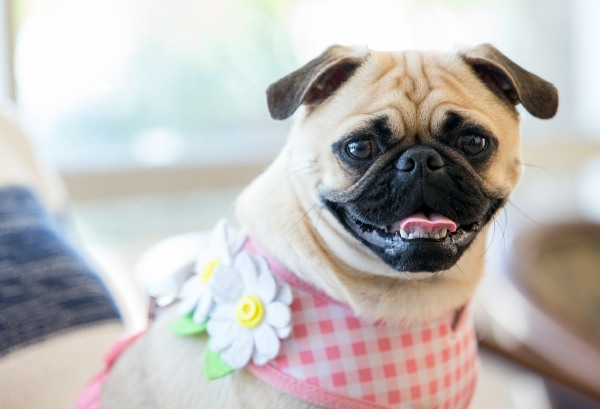 pug with flowers on neck
