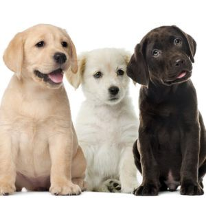 3 puppies in front of white background