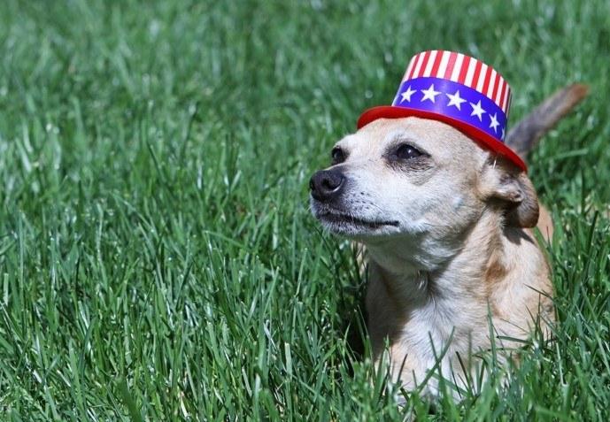 Dog with patriotic hat