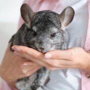 woman holding chinchilla